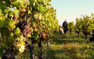 Escapades dans les vignes