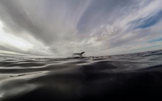 Les chants des baleines